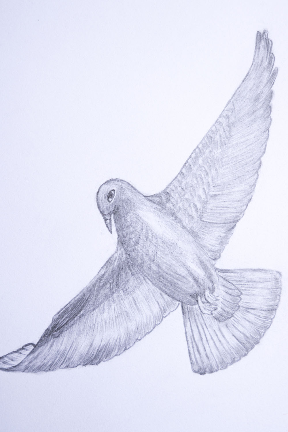 how to draw a dove flying step by step