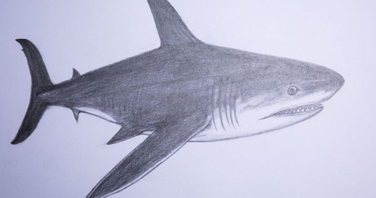 how to draw a shark for beginners