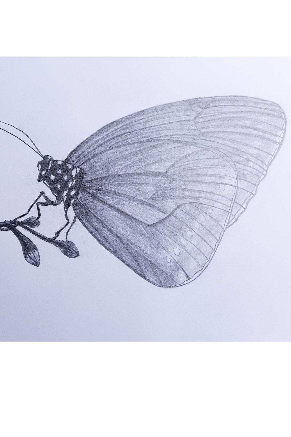 how to draw a butterfly step by step